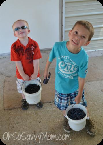 Blackberry picking at blueberry Hill, Haughton, LA
