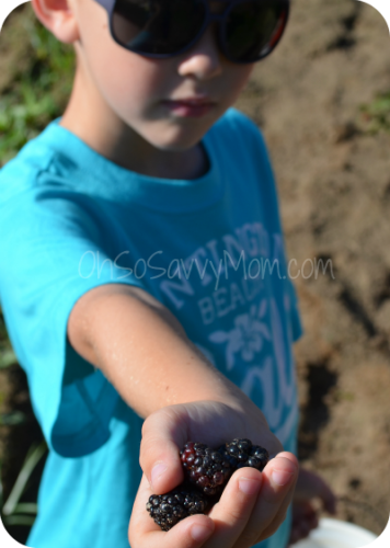 Blackberry picking at blueberry Hill, Haughton, LA