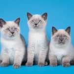 three cats on blue background